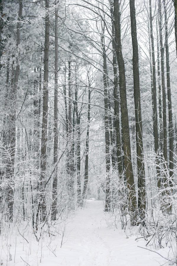 Magic foggy and frozen winter forest scene. Misty landscape back royalty free stock photos
