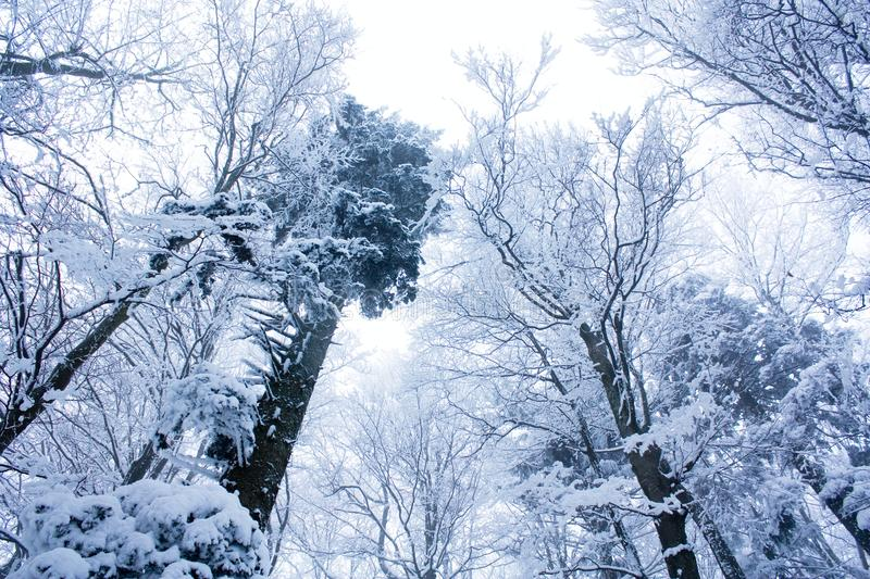 Magic forest. Trees in the forest covered with snow royalty free stock image
