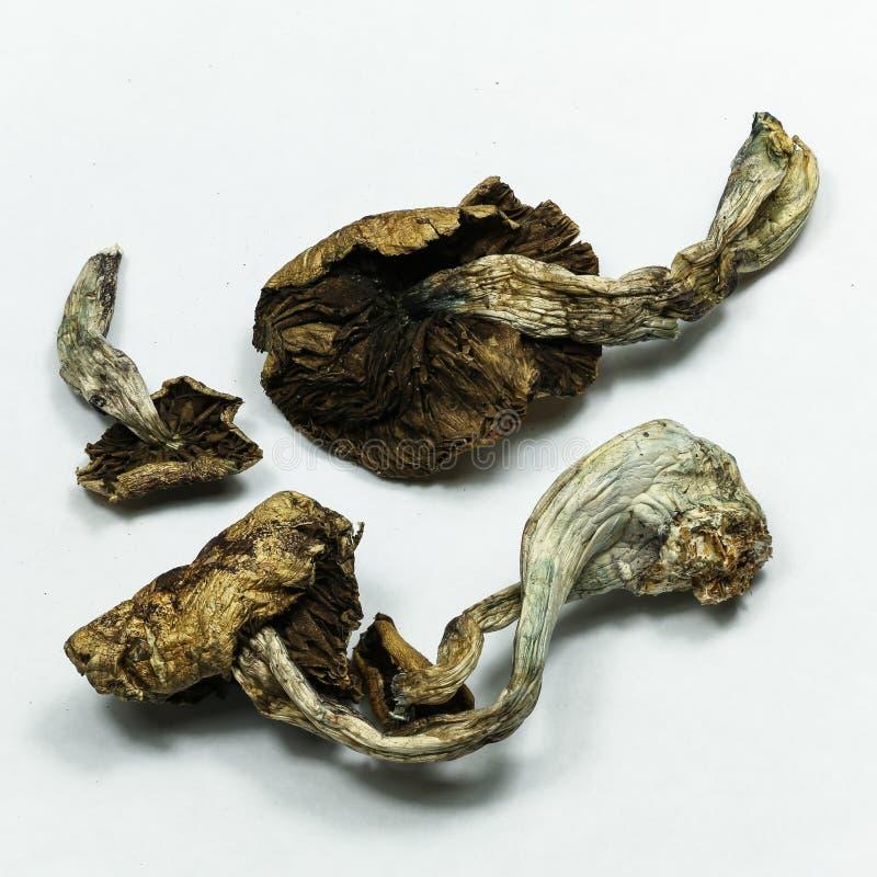 Free Magic Mushrooms 1 Stock Photography - 54188502