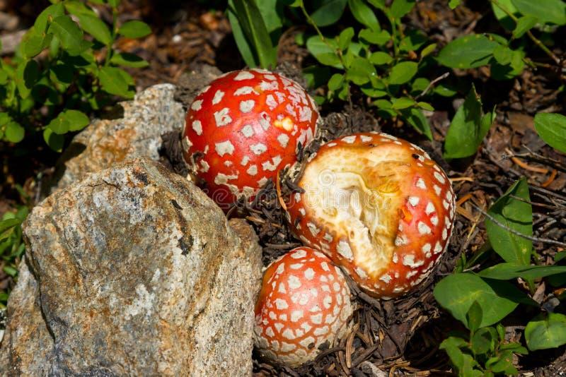 Magic Mushrooms. Red spotted wild magic mushrooms fungus stock images
