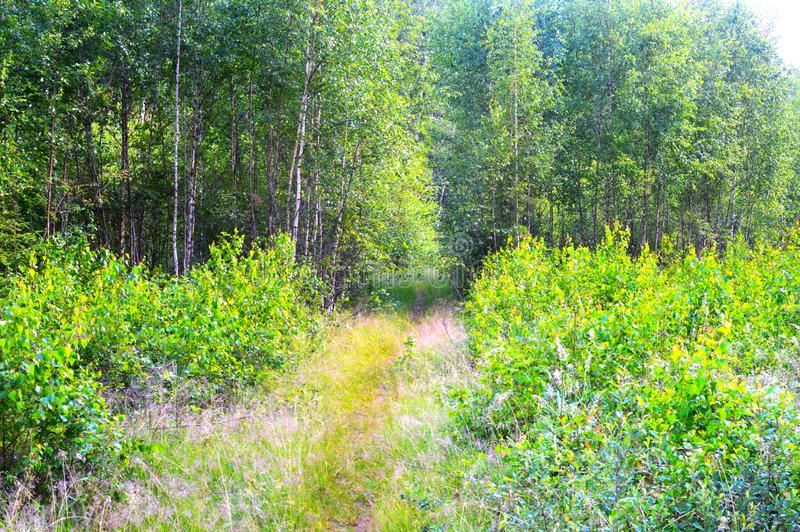 Magic and mysterious wild wood. High coniferous and deciduous trees. The pacified morning in the forest. Green background and land royalty free stock photos
