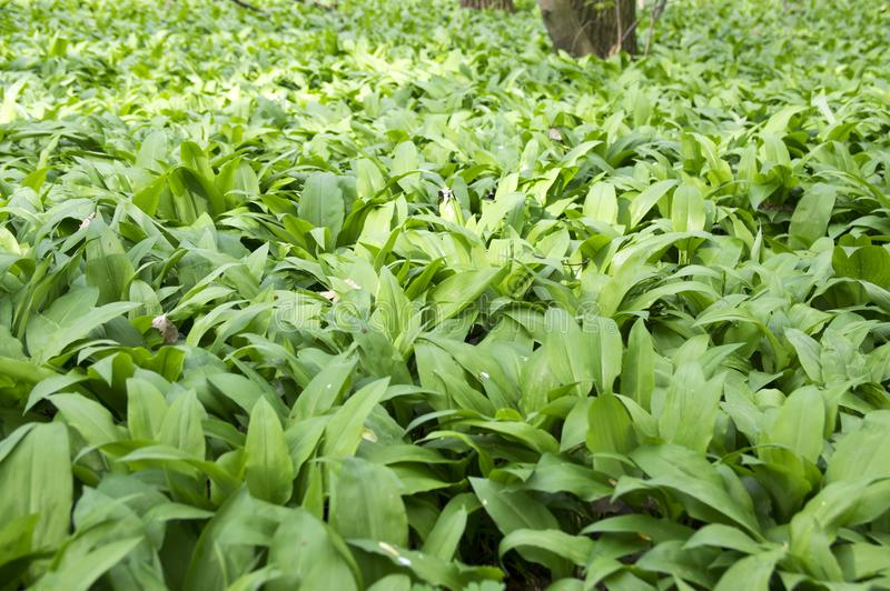 Magic nature place full of wild bear garlic, green leaves background stock image