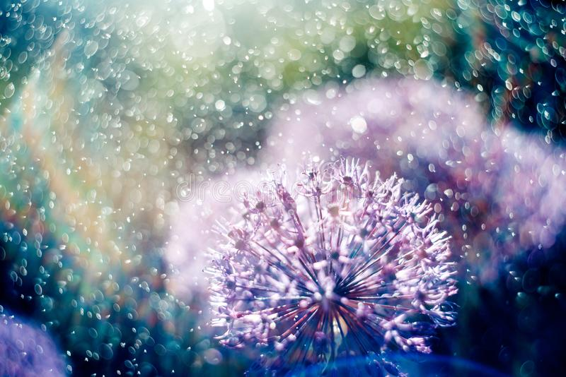 Magic picture beautiful unusual purple flowers in the light rays of the rainbow in the spray and water drops royalty free stock images