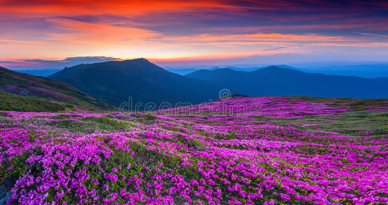 Magic pink rhododendron flowers on summer mountain. royalty free stock photos