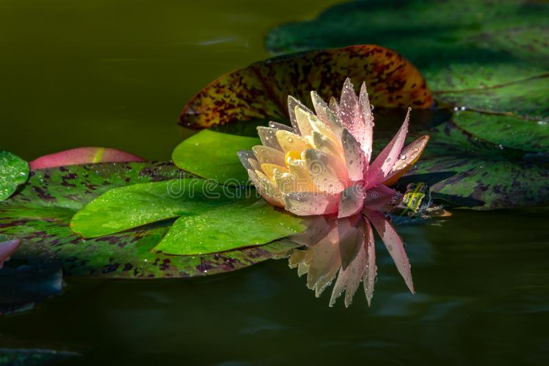 Magic pink water lily or lotus flower Perry`s Orange Sunset with spotty leaves. Petals of Nymphaea with water drops are reflected. In dark pond.Frog hid under stock photography
