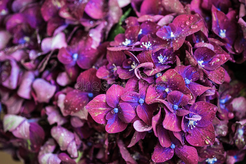 Magic purple violet hortensia hydrangea macro with water drops. Magic purple violet hortensia hydrangea macro with a water drops royalty free stock photography