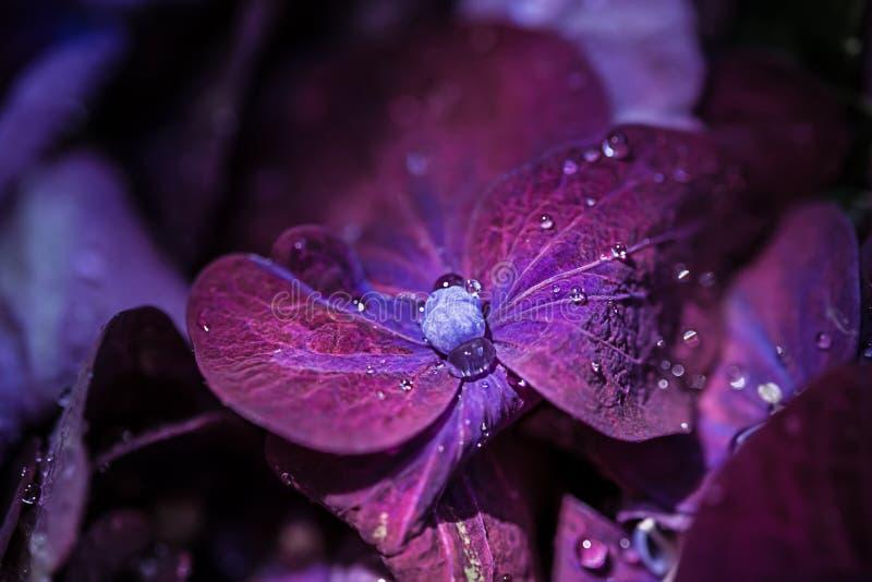 Magic purple violet hortensia hydrangea macro with water drops. Magic purple violet hortensia hydrangea macro with a water drops royalty free stock photo