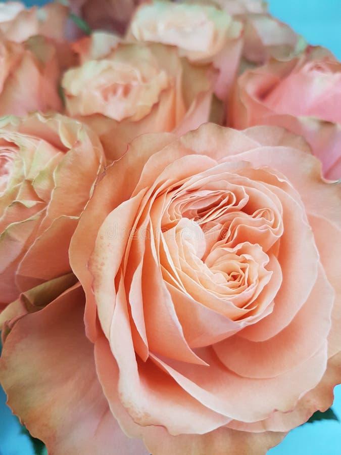 magic rose kiss. stock image