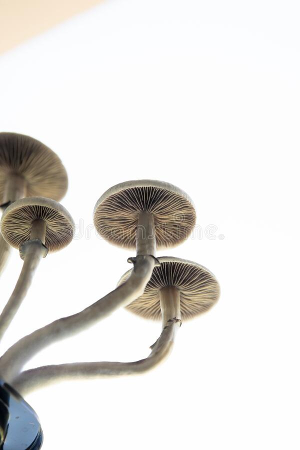 Magic shroom. Fungi hallucinogen. Growing Albino A strain. Medical research of psilocybin . Hallucinogenic Psychedelic drug. stock photography
