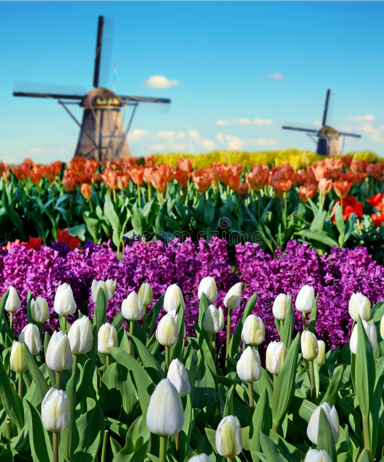 Magic spring landscape with flower beds and windmills in Netherlands, Europe (harmony, relaxation, anti-stress, meditation - stock images