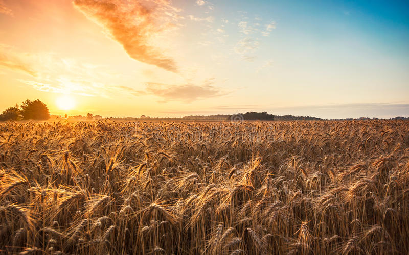 Magic sunrise with wheat field stock photos