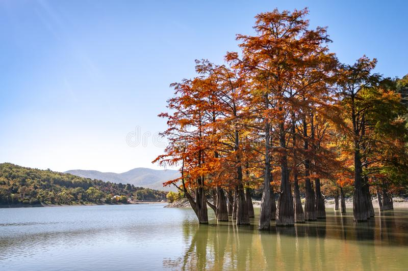 The magic of swamp cypress Taxodium distichum appears in the fall. The red and orange cypress needles are reflected in a turquoise royalty free stock images