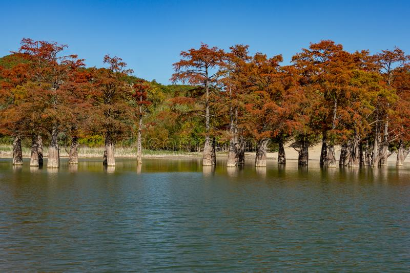 The magic of swamp cypress Taxodium distichum appears in the fall. The red and orange cypress needles. Are reflected in a turquoise-colored lake. Nature concept royalty free stock photography