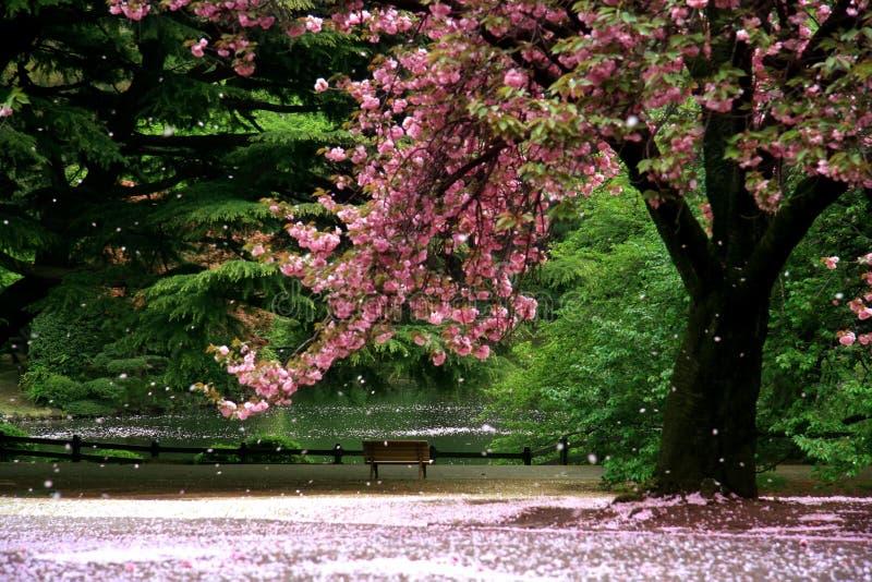 Magic view cherry blossom stock photo
