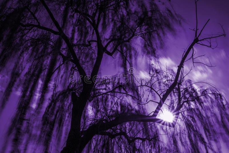 Magic willow tree. Willow tree leaves moved by the wind and shining sun violet fantasy background