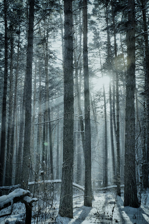 Download Magic winter forest stock image. Image of snowy, freeze - 37693795