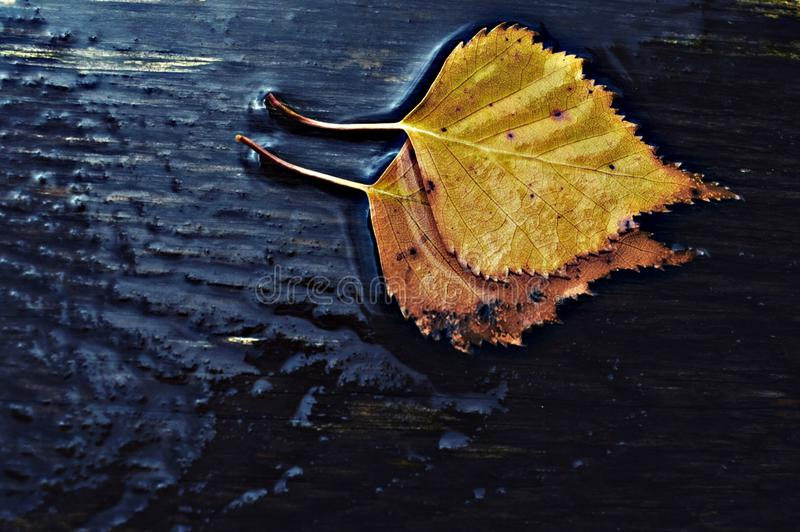 Magical autumn leaves on a rainy day. I love walking around on rainy days, because only few people are outside and I can listen to nature and find magical things stock photos