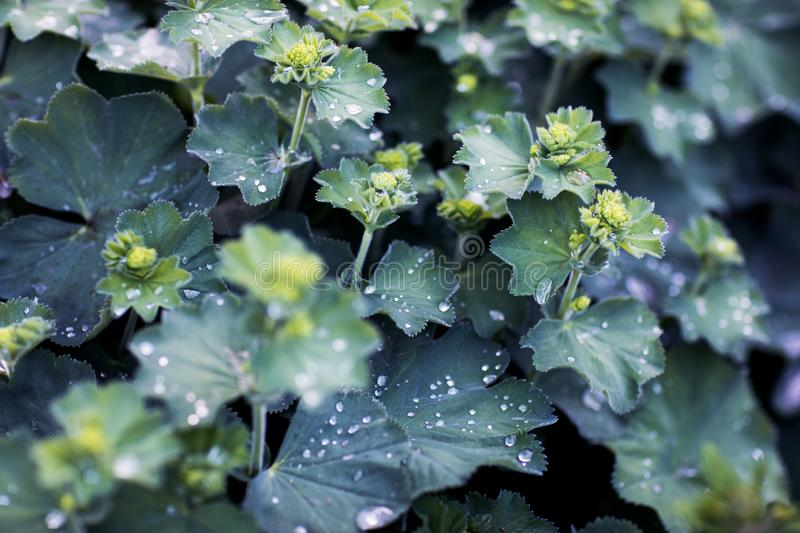 Wet foliage. Silver plants with rain drops on the leaves. Alchemilla mollis, lady`s mantle. Backdrop, background, beautiful, blooming, blue, botanical, colorful stock photo