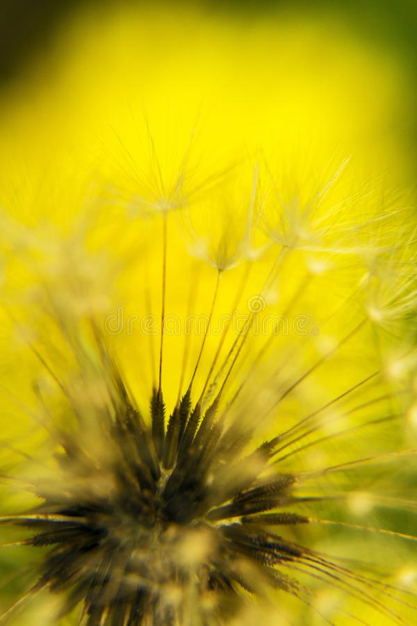 Magical dandelion fluff close up photo. On yellow background stock photo
