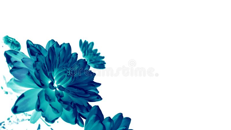 Magical dark blue chrysanthemum flowers on a white background. Side view. selective focus stock photography