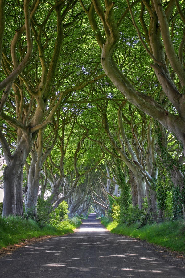 Magical forest of Dark Hedges. Magical woods of Dark Hedges with its strange shape trees. Northern Ireland stock photos