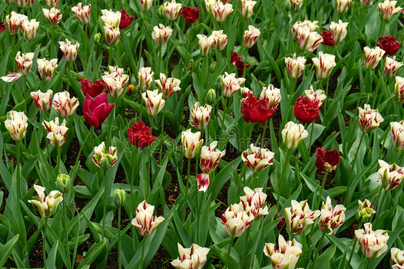 A magical landscape of white tulips with red veins on the fields in Holland. The floral background stock photography
