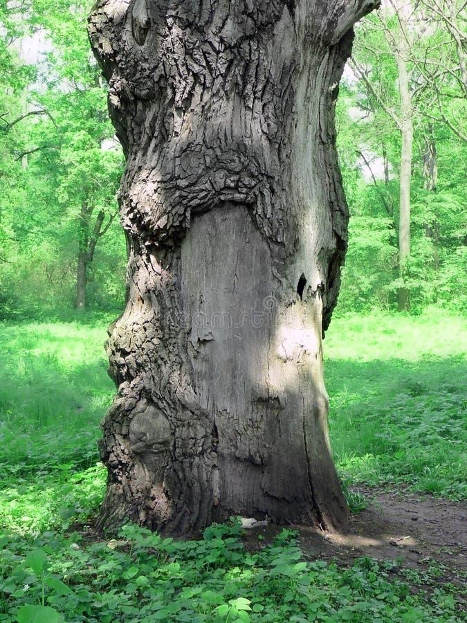 Magical old oak. Magic tree in dendropark Alexandria, Ukraine stock photos