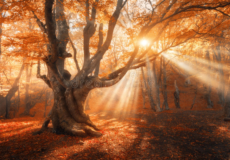 Magical old tree with sun rays in the morning stock photography