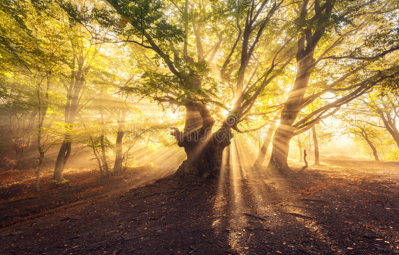 Magical old tree with sun rays at sunrise Foggy forest stock photography