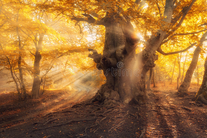Magical old tree with sun rays at sunrise Foggy forest. Magical old tree with sun rays in the morning. Forest in fog. Colorful landscape with foggy forest, gold royalty free stock photography