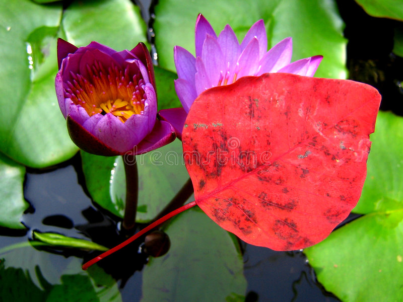 Magical Red. A magical red leaf appears to float on the backdrop of beautiful waterlilies stock photography
