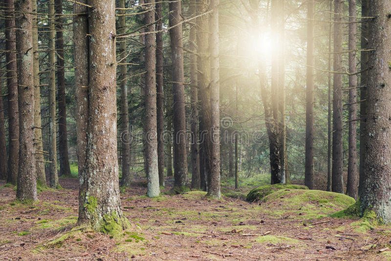 Magical summer forest with early sunlight seeping in. Beautiful, dense forest on a sunny late summer morning. Light seeping in through the pine trees stock photography