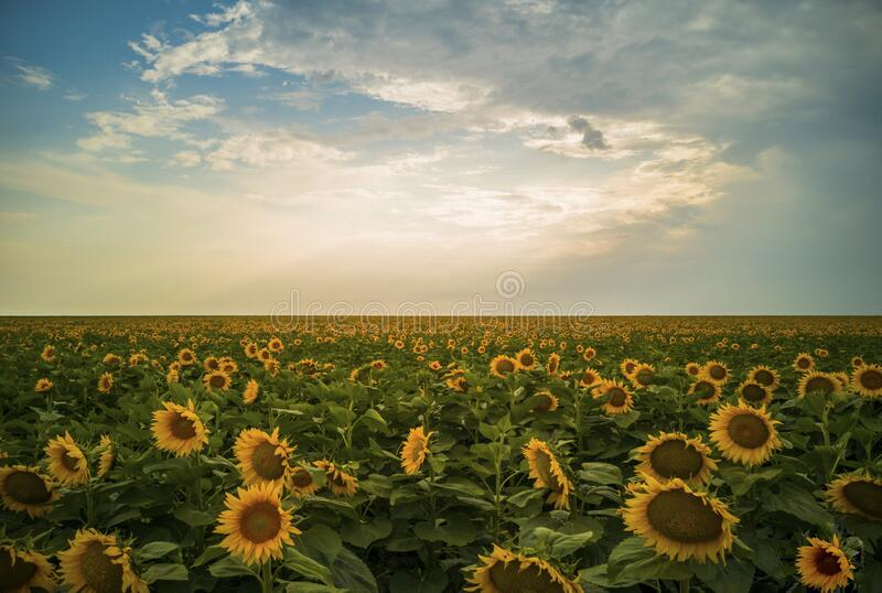 Magical sunflowers field landscape royalty free stock photography