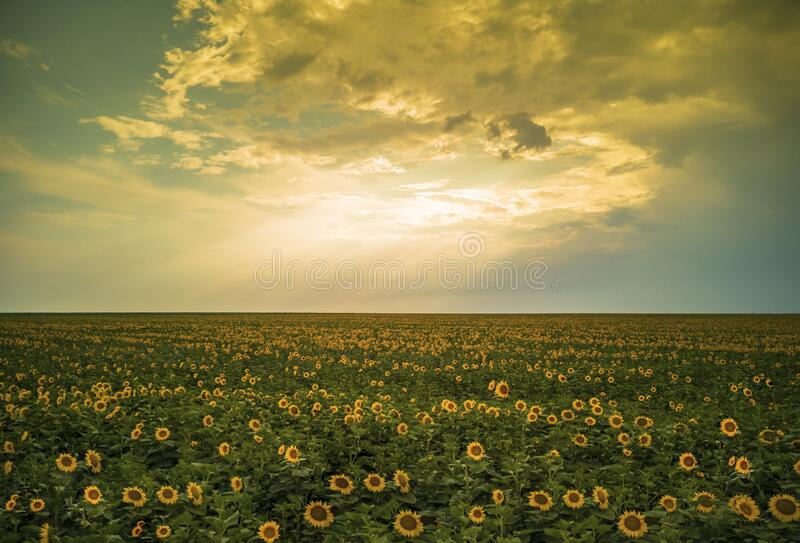 Magical sunflowers field landscape stock images