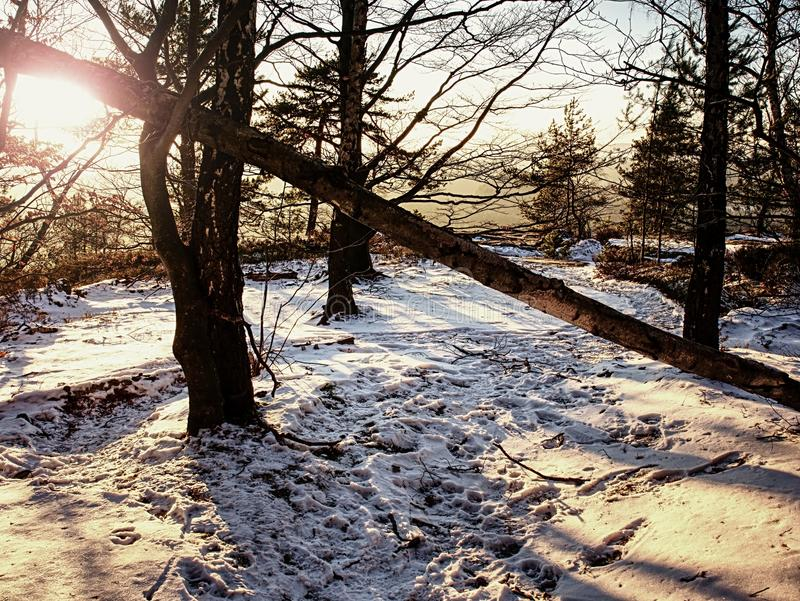 Magical trees in snowy forest strip sun rays in the morning fog. royalty free stock photos