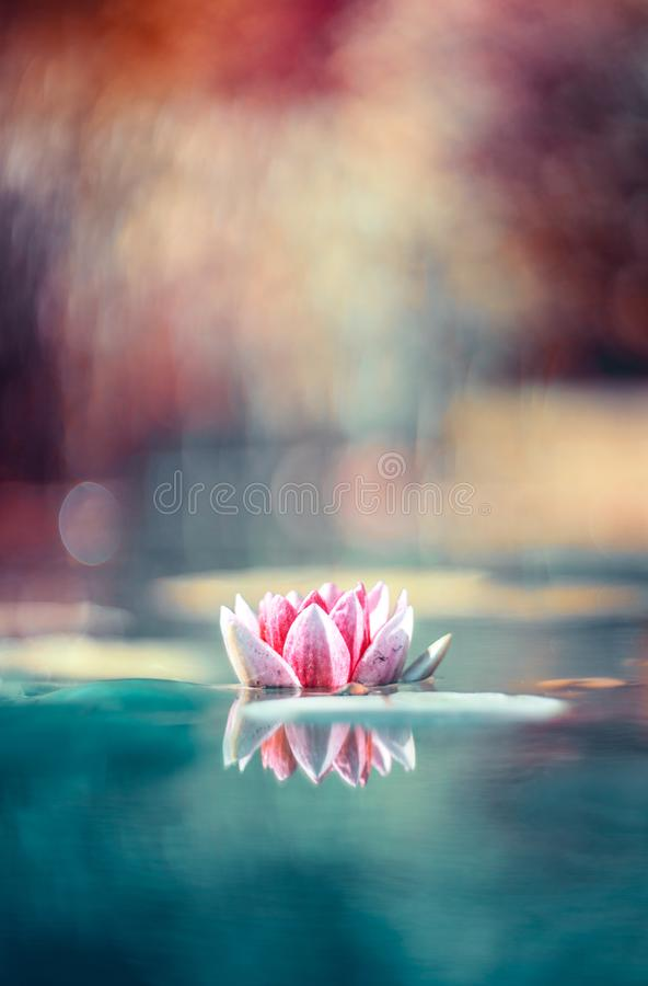 Magical waterlily in the lake royalty free stock photography