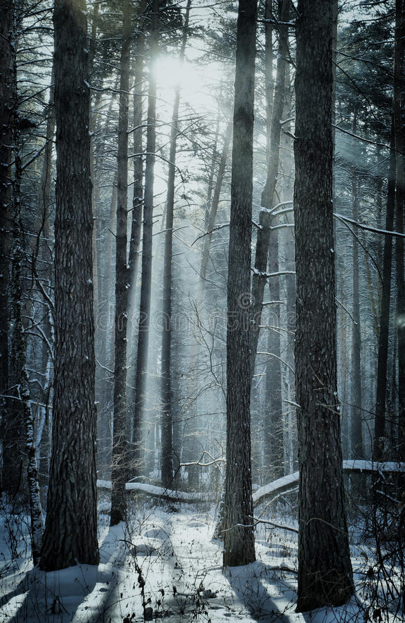 Download Magical Winter Forest Royalty Free Stock Images - Image: 37693949