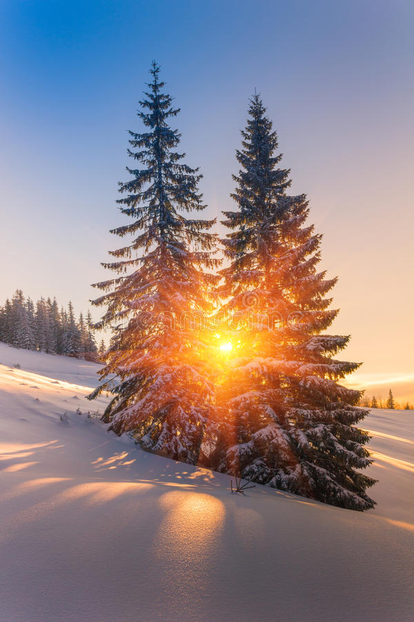 Magical winter landscape in mountains. View of snow-covered conifer trees and snowflakes at sunrise. royalty free stock photos