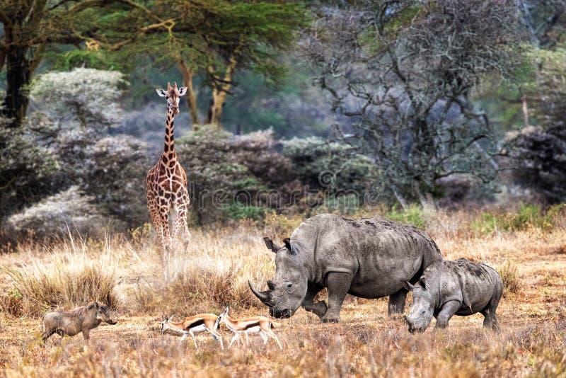 Magiczna Jeziorna Nakuru Kenja dżungli zwierzęcia scena zdjęcie royalty free
