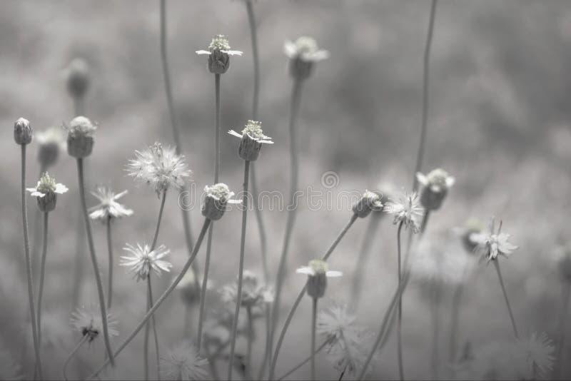 Magiczne wiosen stokrotki na gazonie na s?onecznym dniu Chamomile kwiat?w pole obraz stock