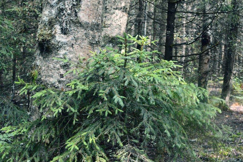 Magiczny i tajemniczy dziki drewno zdjęcia royalty free