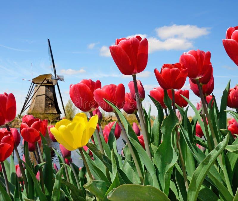 Magiczny krajobraz tulipany i wiatraczki w holandiach obraz stock