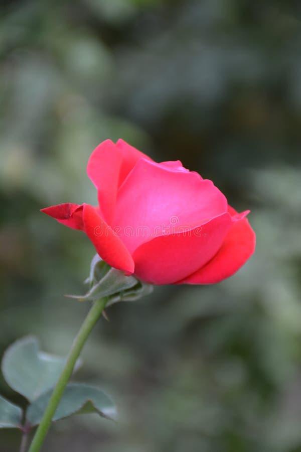 Magiczny kwiecenie parkuje różanego fotografia royalty free