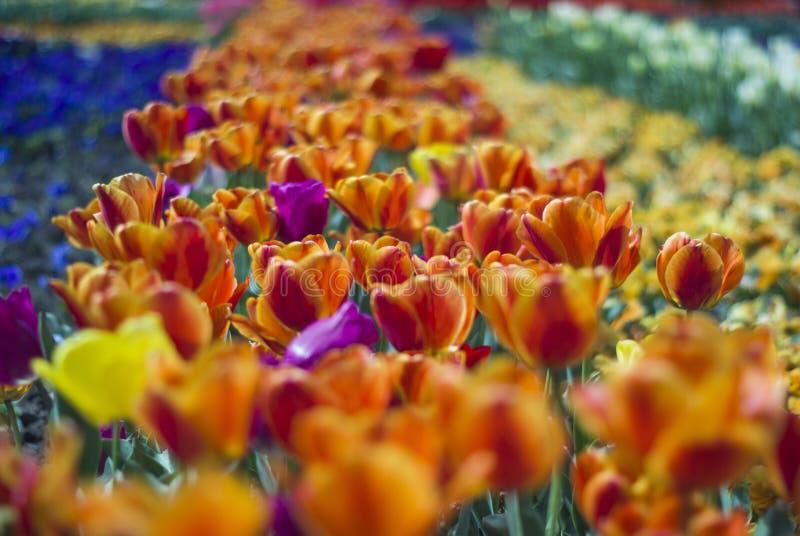 Magiczny kwiecisty krajobrazowy malowniczy ogród z pomarańczowymi tulipanami wewnątrz zdjęcie stock
