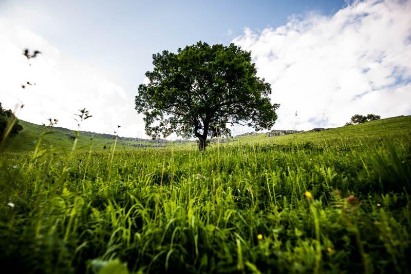 Magiczny osamotniony drzewo w halnym skłonie z zieloną trawą wokoło, chmurnym niebem i obraz stock