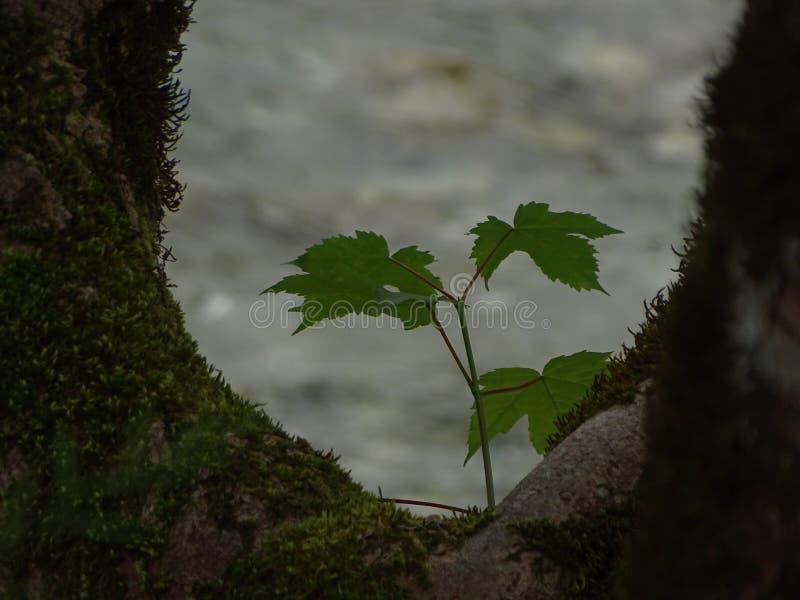 Magiczny widok na drzewnym jaworze obrazy stock