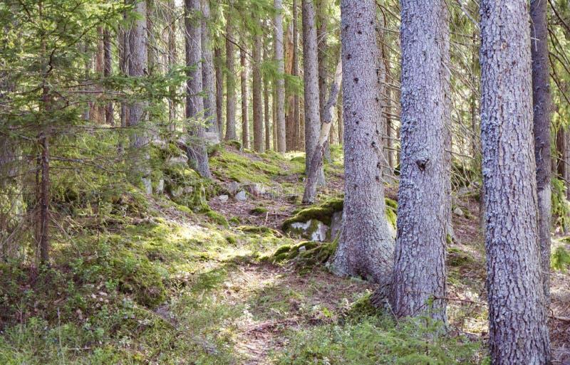Magiczny wiosna las z światłem słonecznym przecieka wewnątrz obraz royalty free