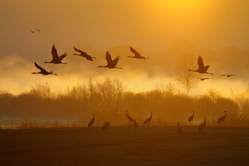 Magiczny zmierzch z ptakami Pospolity żuraw, Grus grus, duży ptak w natury siedlisku, Jeziorny Hornborga, Szwecja Przyrody scena  zdjęcia stock