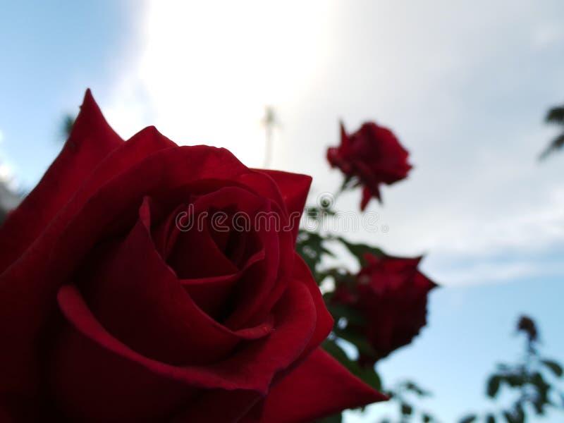 Magieabschluß der roten Rosen oben lizenzfreie stockfotografie