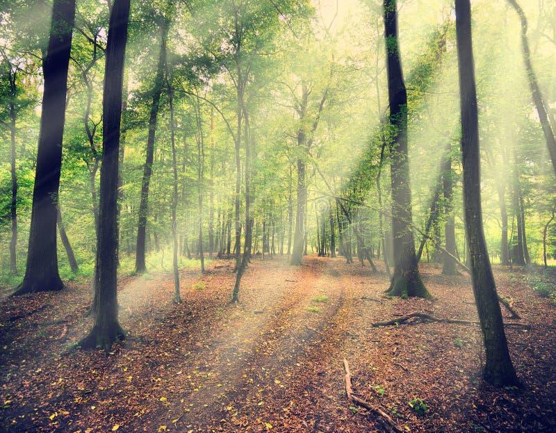 Magisch bos in myst met zonstraal stock foto's